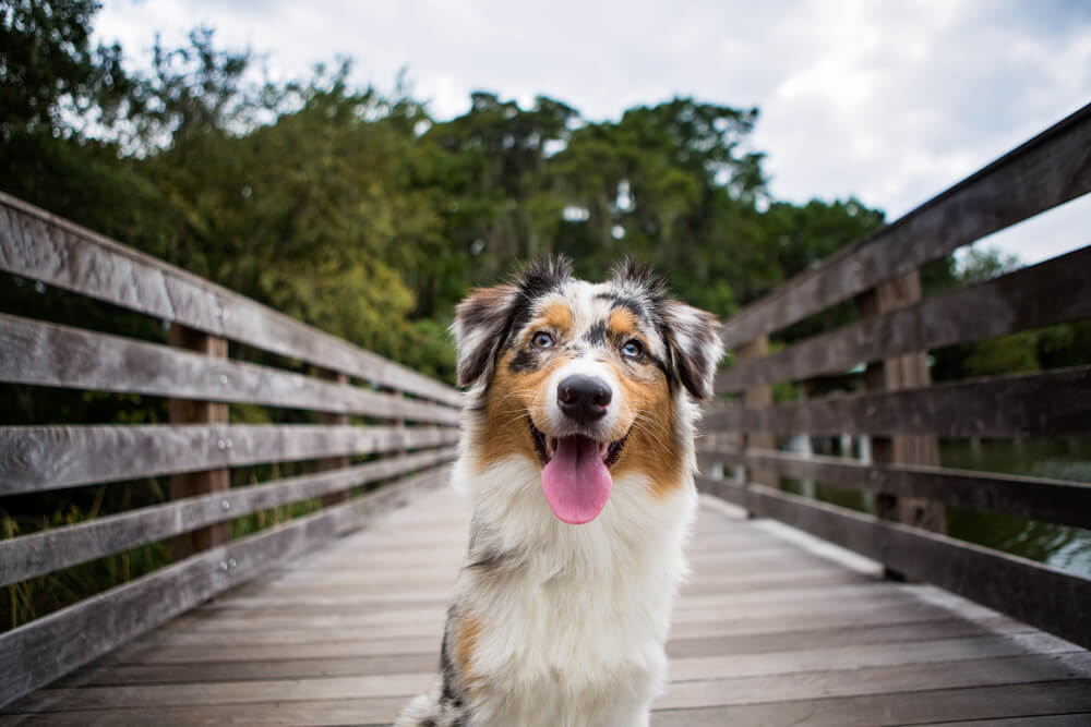 happy-australian-shepherd-stands-on-bridge-with-tongue-out