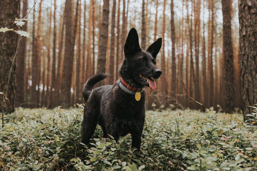 happy-black-mixed-breed-dog-plays-in-the-forest
