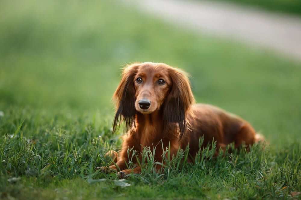 long-haired-Dachshund-lays-down-in-wild-grass