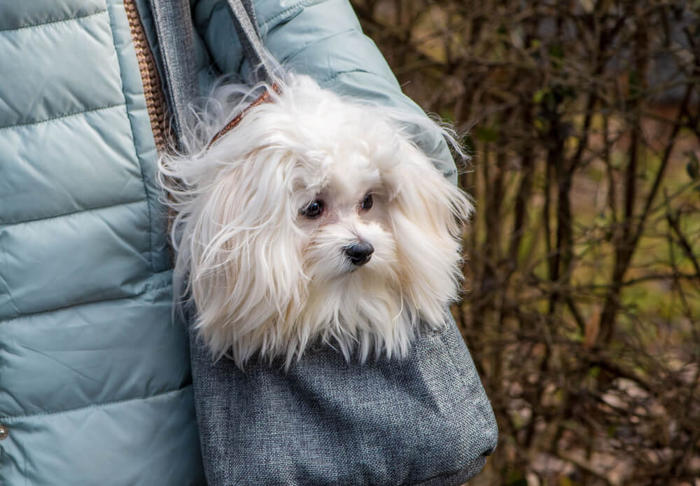 maltese-dog-being-carried-in-a-bag-on-a-hike-outdoors