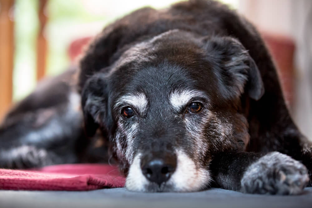 older-dog-experiences-early-signs-of-dementia