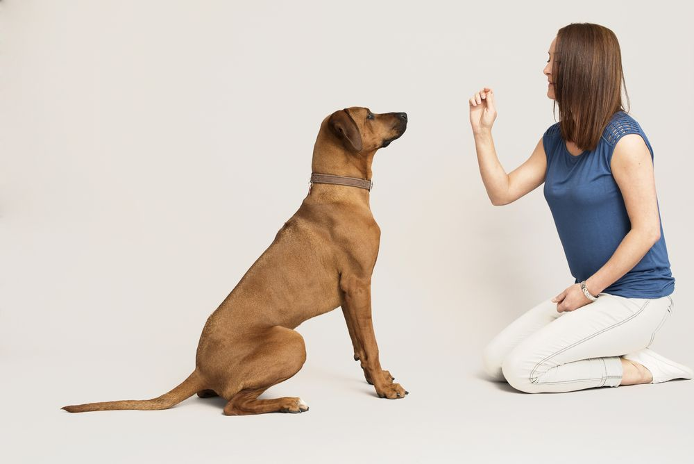 woman-trains-her-dog-commands-for-therapy-dog-test
