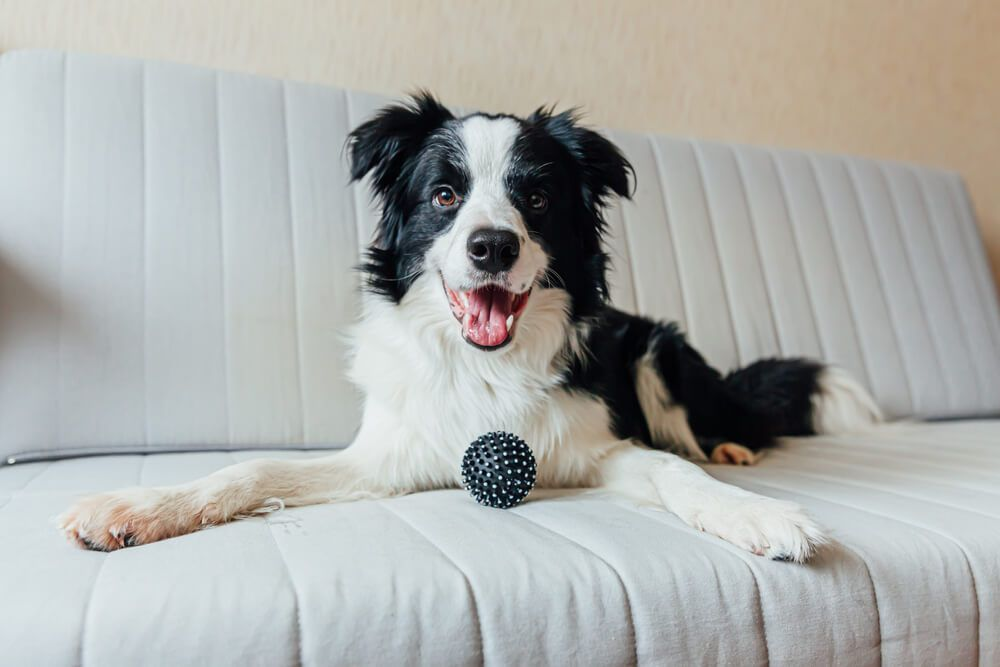 young-border-collie-poses-on-a-couch-with-a-toy-ball