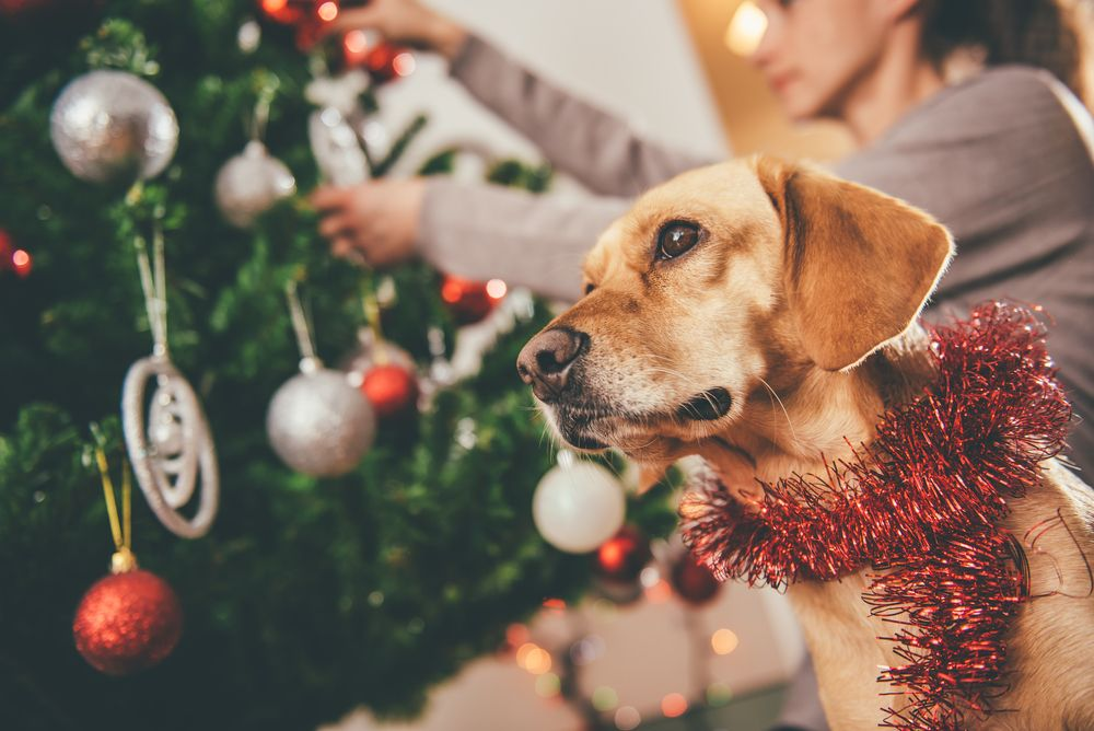 adorable-hound-dog-helps-his-owner-decorate-for-the-holidays