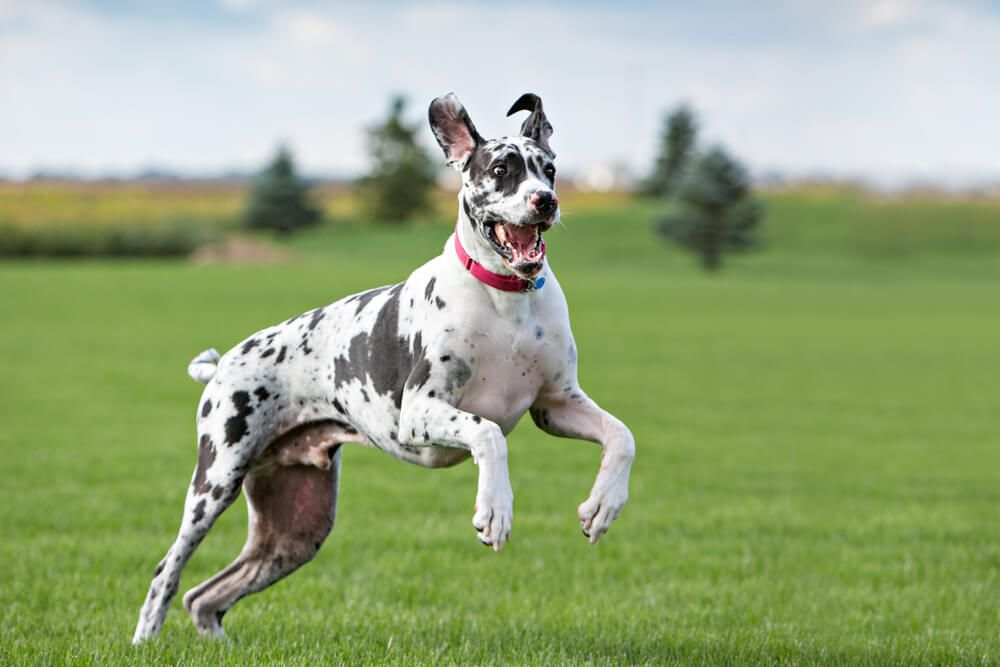 adult-active-great-dane-is-at-risk-for-hip-dysplasia