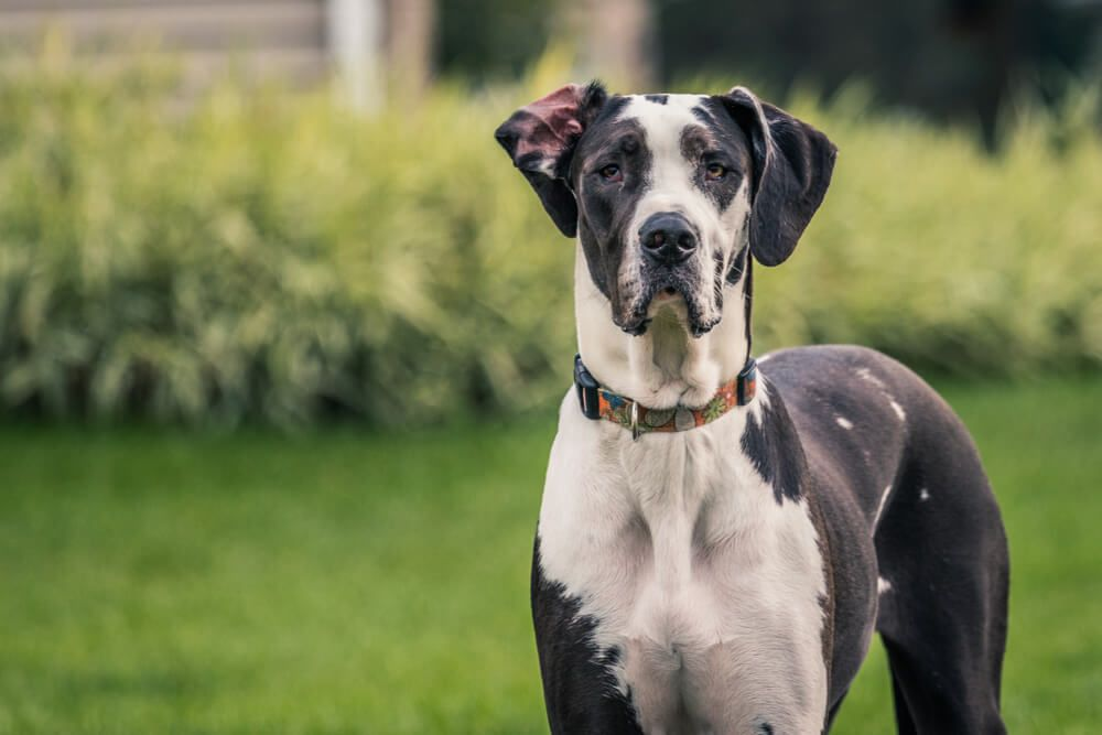 adult-great-dane-poses-outside-on-a-lawn-1