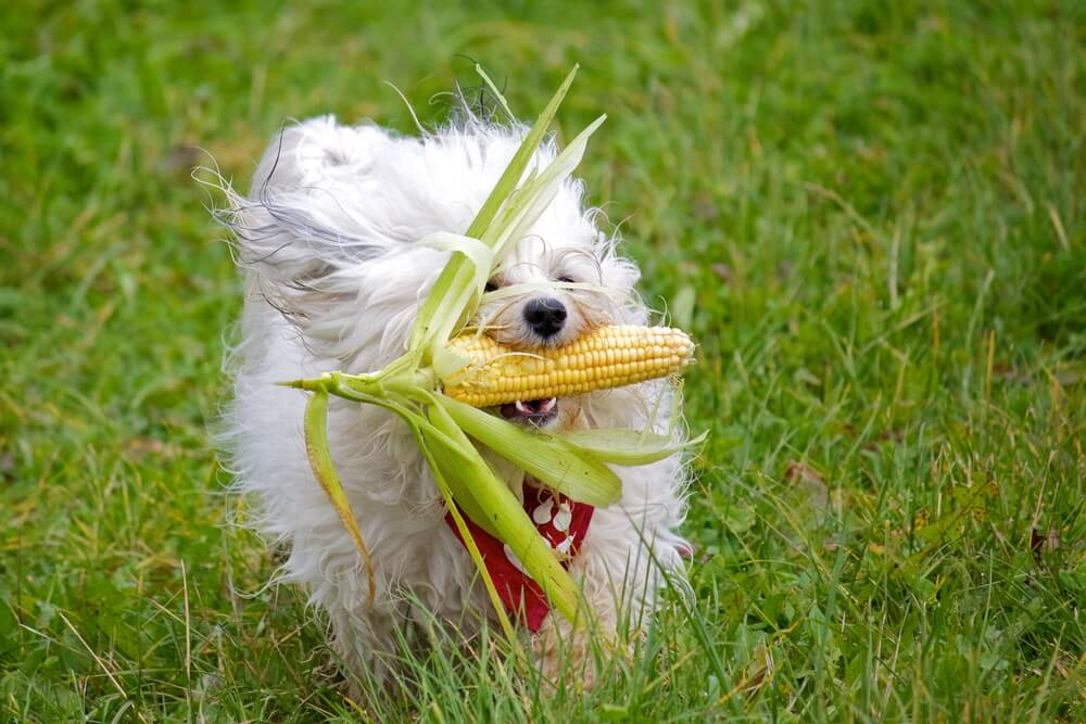 dog-carries-ear-of-corn-in-his-mouth