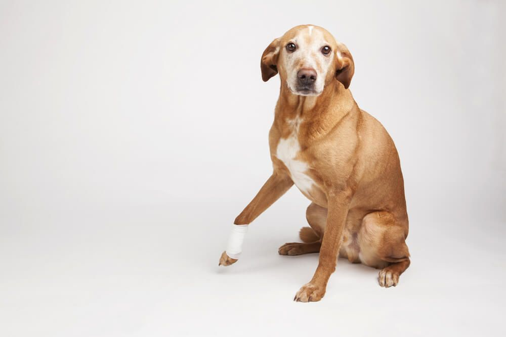 dog-experiences-joint-pain-and-requires-medical-attention