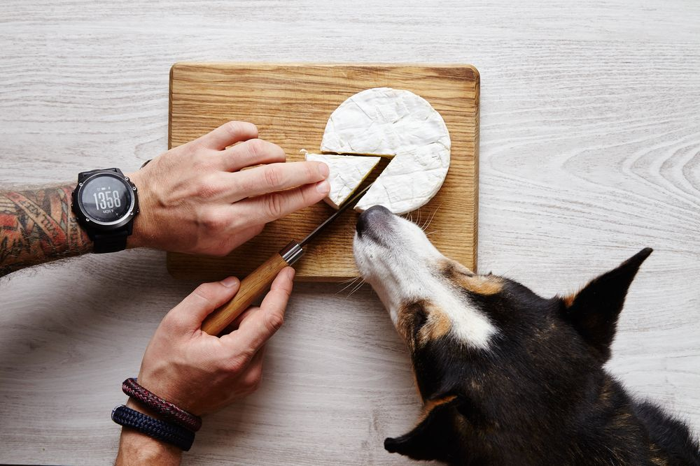 man-cuts-a-slice-of-brie-with-dog
