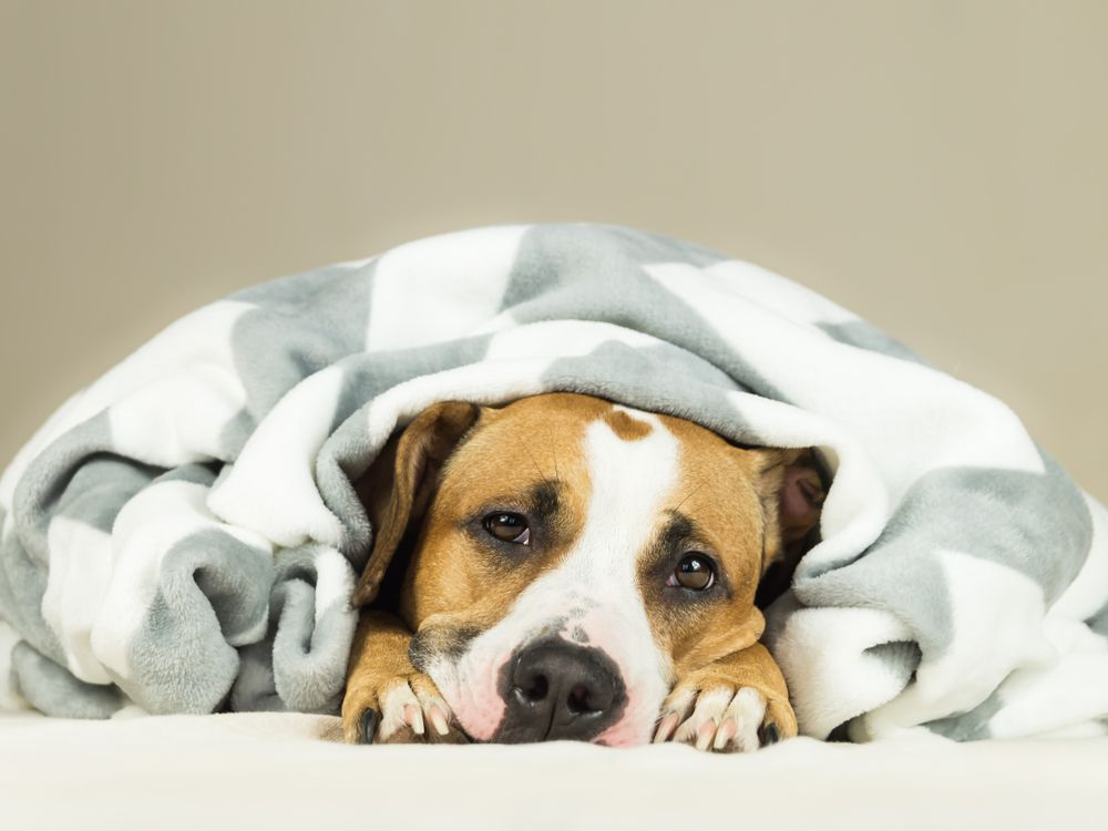 sick-dog-with-stomach-issues-hides-under-the-covers