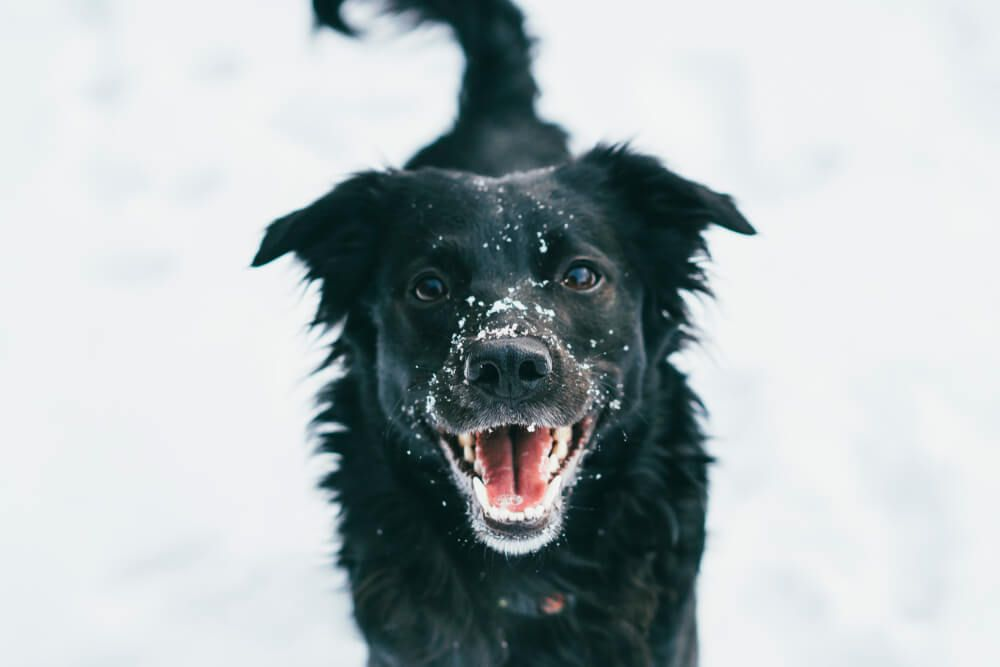 smiling-happy-dog-with-fresh-snow-on-his-nose