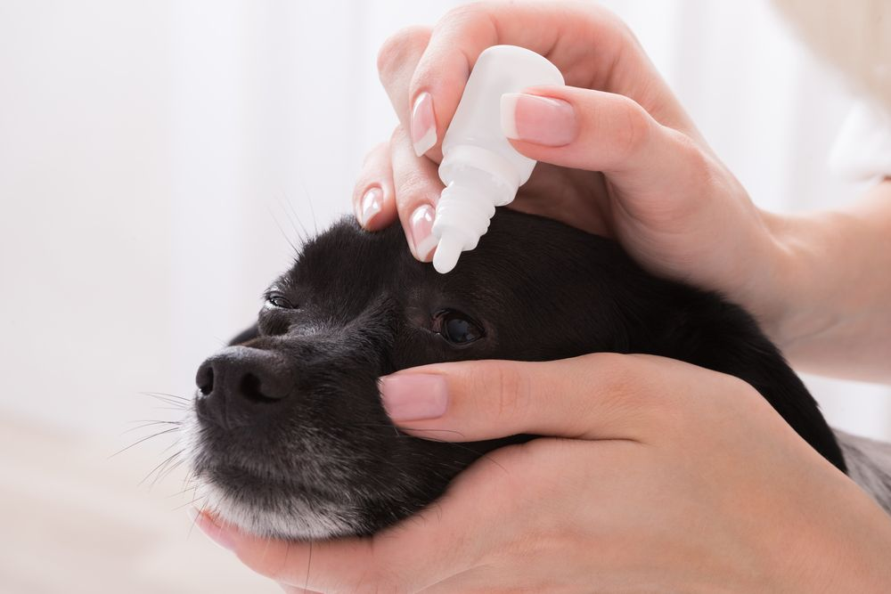 woman-adminsters-eye-drops-to-her-small-dog