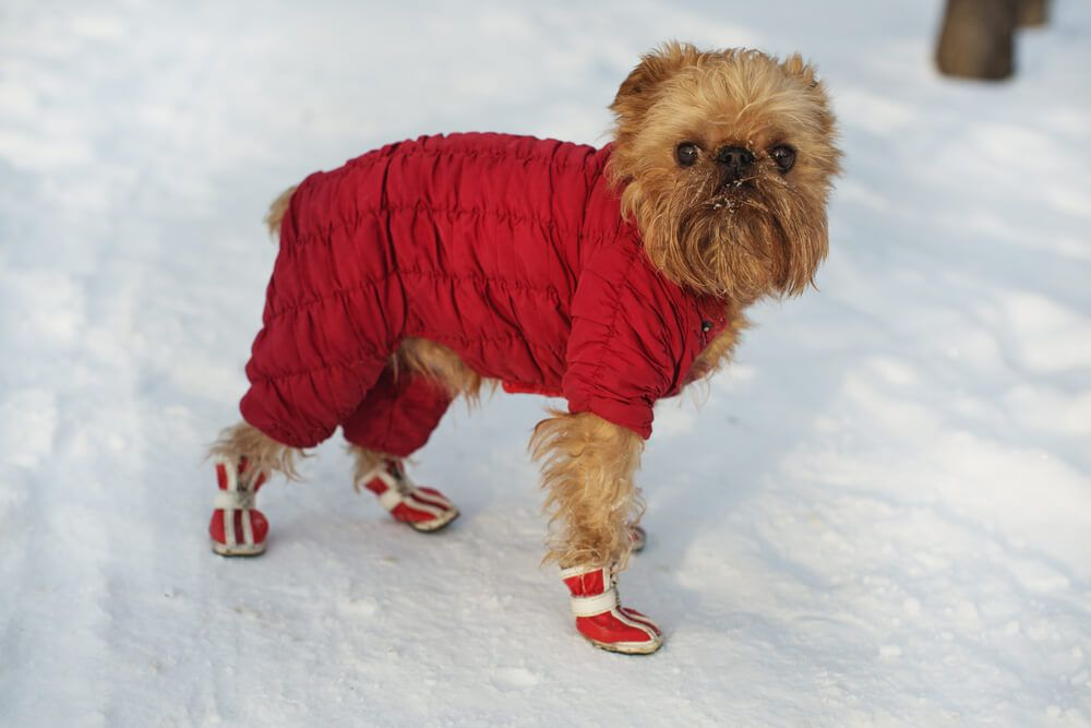brussels-griffon-in-a-read-snow-coat-with-matching-boots