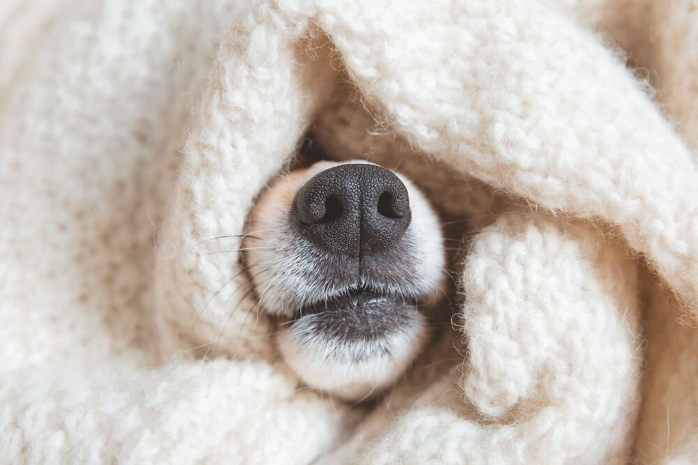 dog-nose-pokes-out-of-pile-of-warm-blankets--1-