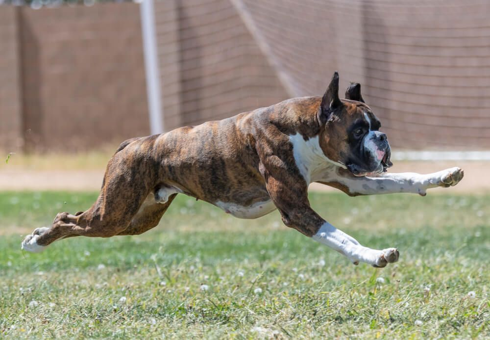 fast-athletic-dog-runs-across-a-sports-field--1-