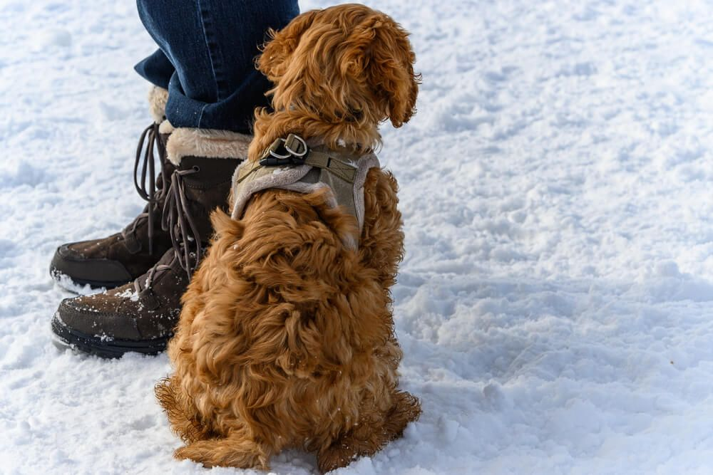 golden-doodle-about-to-set-out-on-a-winter-walk