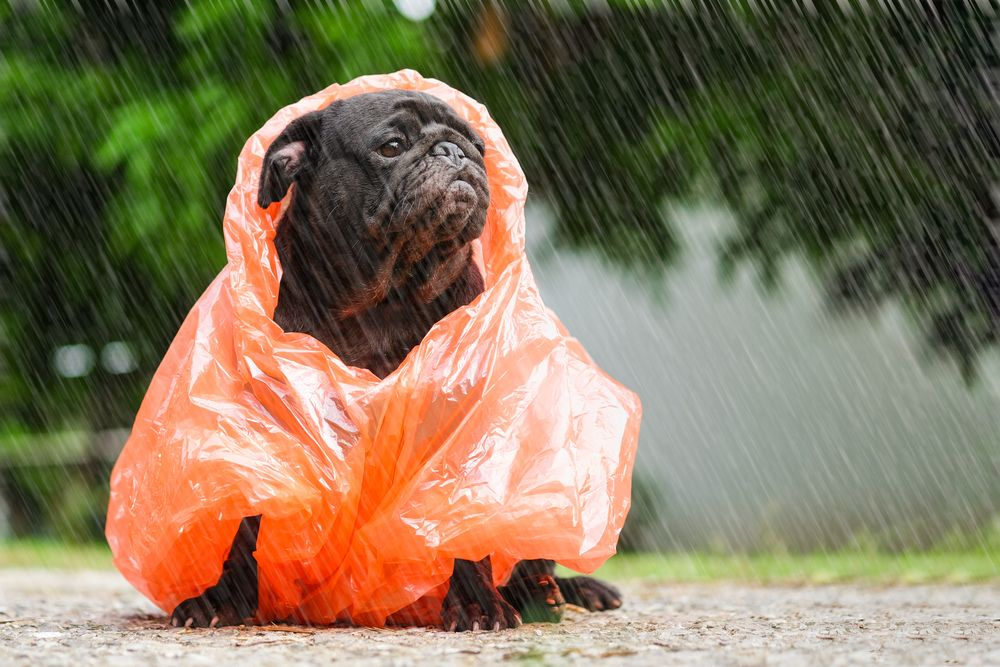 grumpy-french-bulldog-stands-in-the-rain