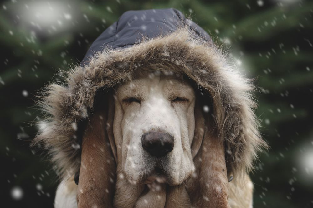 grumpy-hound-in-a-coat-sits-in-snow