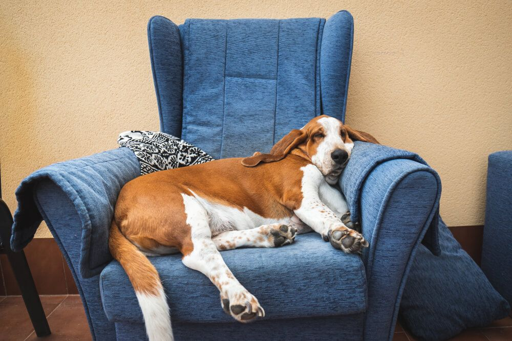 lazy-couch-potato-hound-dog-on-blue-armchair