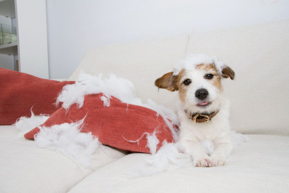 cute-puppy-tears-up-a-new-couch-and-pillows