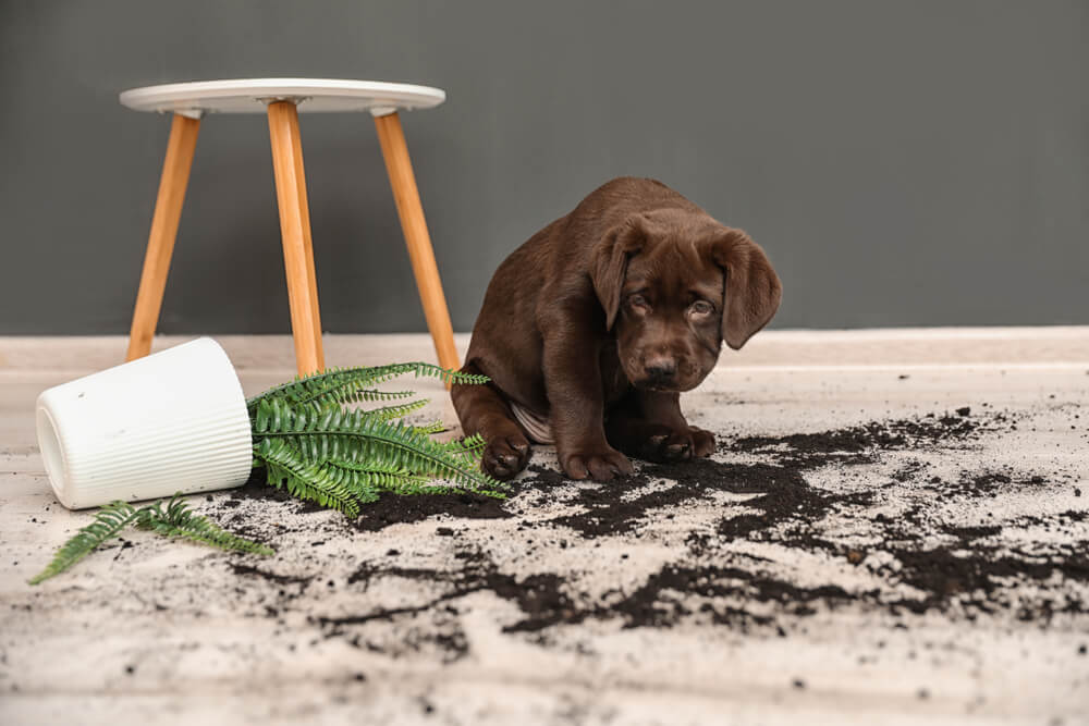puppy-looks-ashamed-after-knocking-over-a-potted-plant