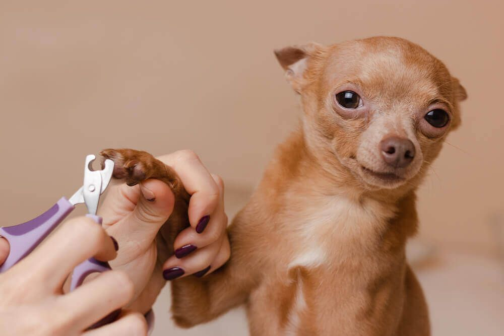 small-chihuahua-gets-his-nails-trimmed-at-home