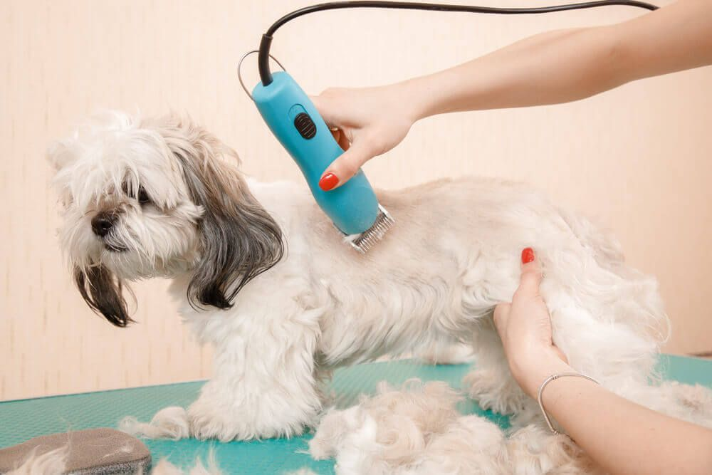 small-dog-gets-a-haircut-from-by-a-professional-dog-groomer