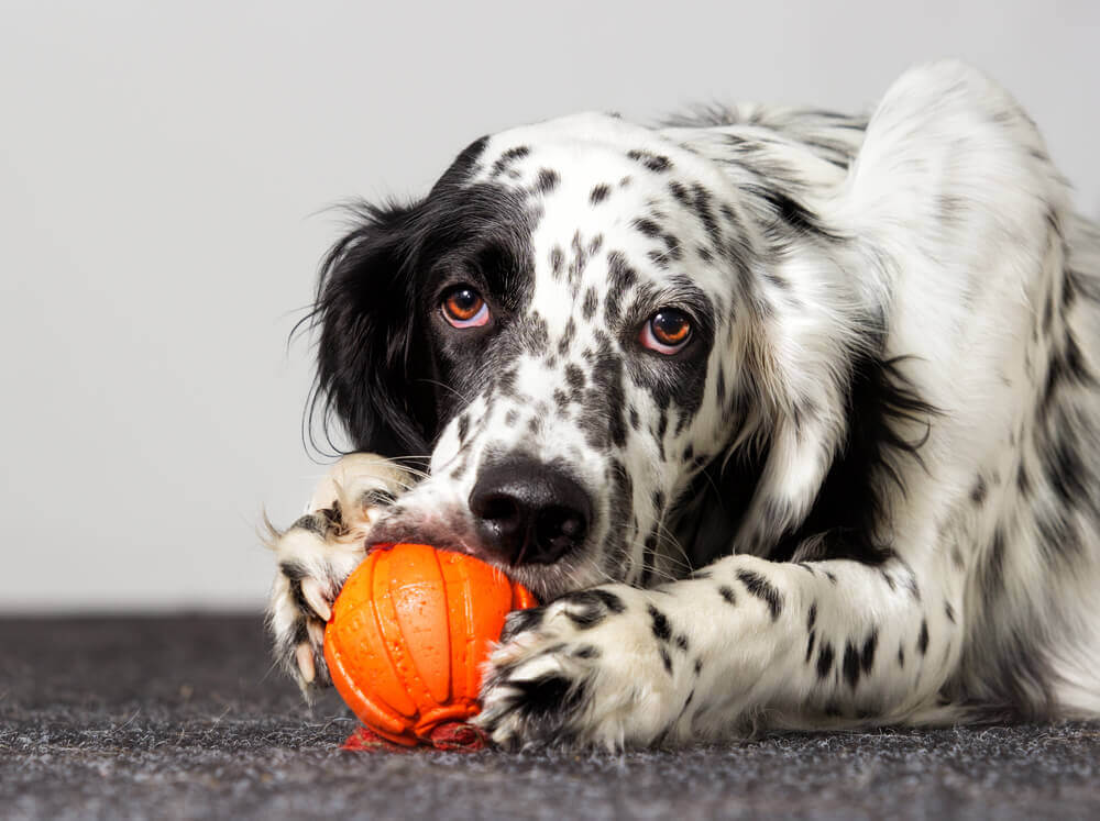 sweet-dog-chews-on-orange-rubber-toy-ball