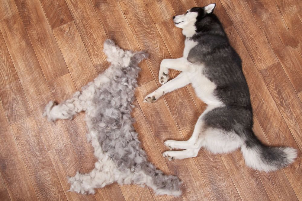 husky-dog-lays-next-to-pile-of-freshly-shedded-fur-shaped-into-dog