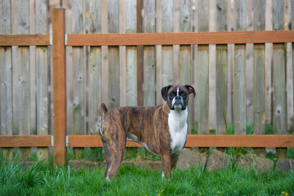 nubby-tailed-dog-in-a-fenced-in-backyard