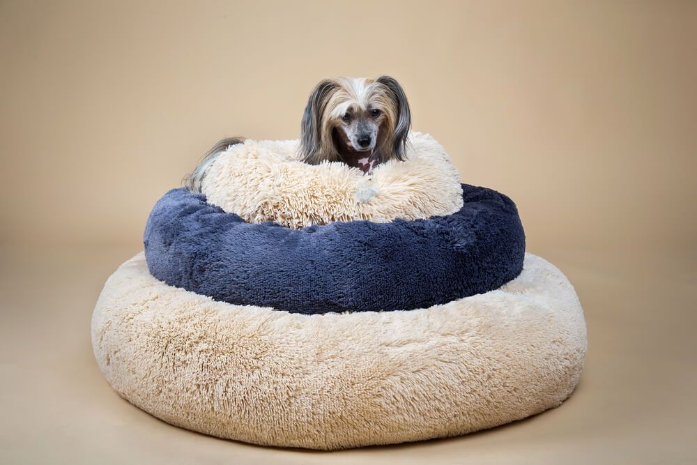 small-chinese-crested-dog-sits-perched-atop-new-dog-beds