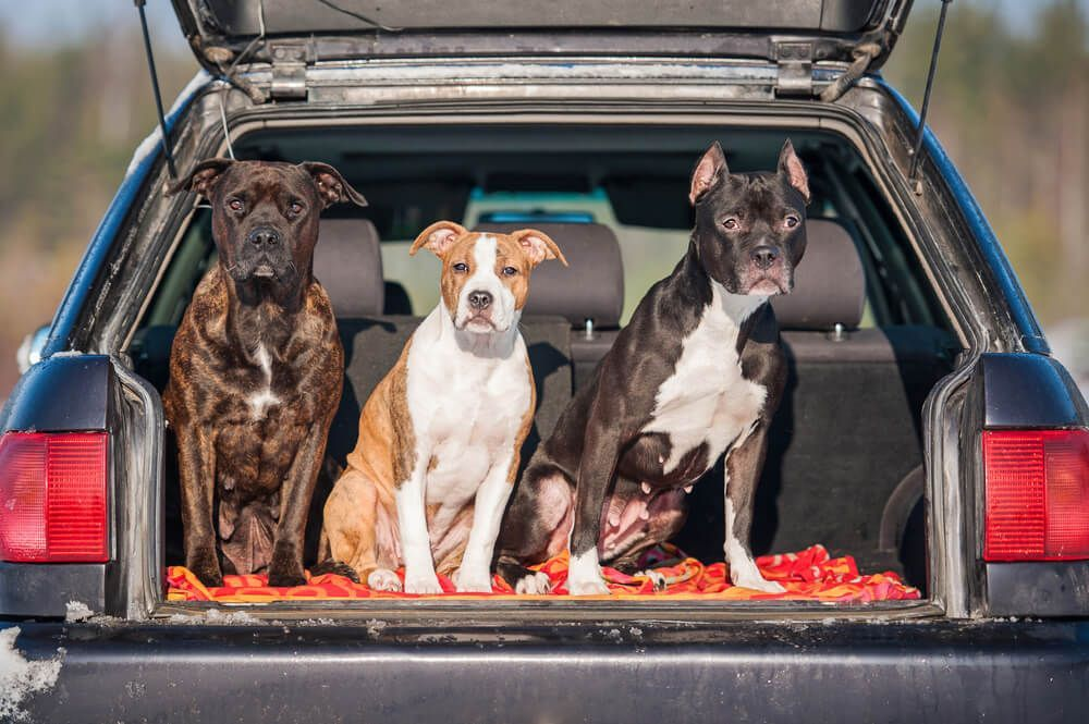 three-dogs-hang-out-in-the-trunk-of-a-car-during-a-road-trip-pit-stop