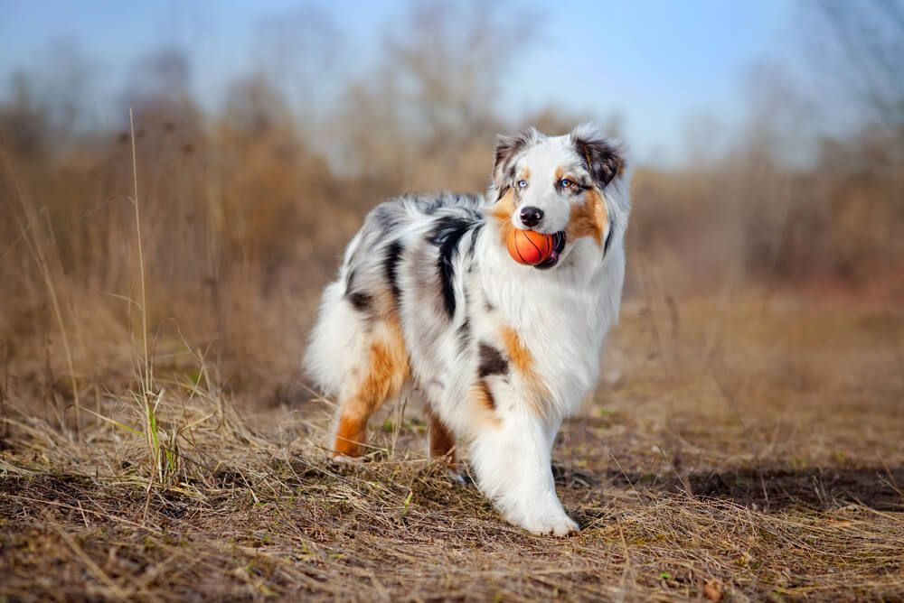 -Australian-Shepherd-holds-tiny-toy-basketball-in-mouth-while-walking-through-a-field