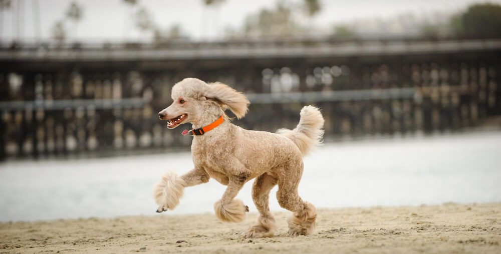 Standard-Poodle-runs-on-the-shore-of-a-manmade-beach