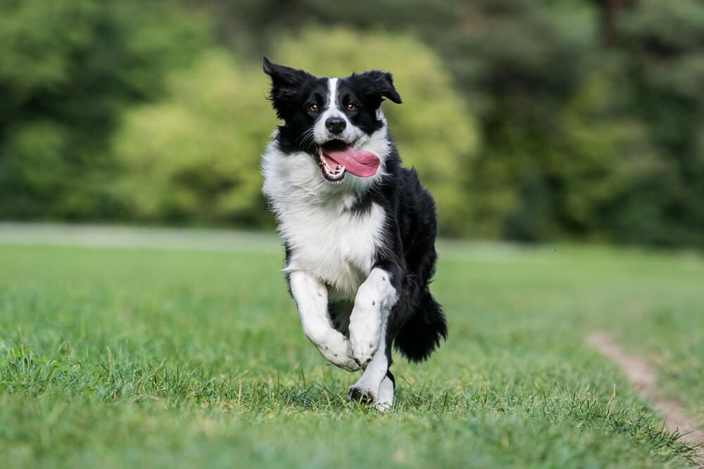 border-collie-runs-outside-in-grass-with-tongue-hanging-out