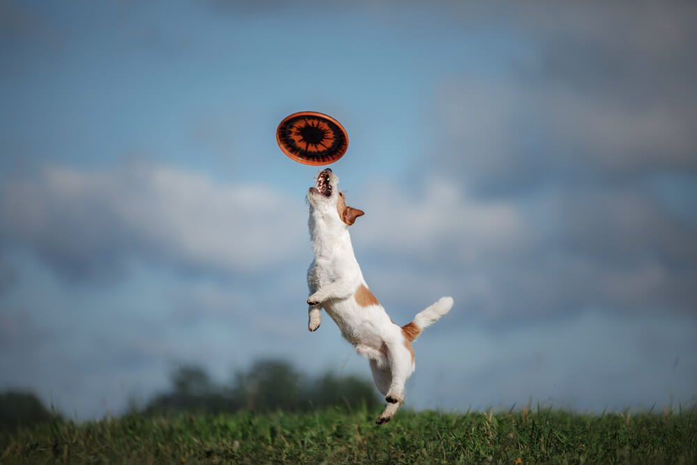 jack-russel-terrier-leaps-to-catch-a-frisbee-midair