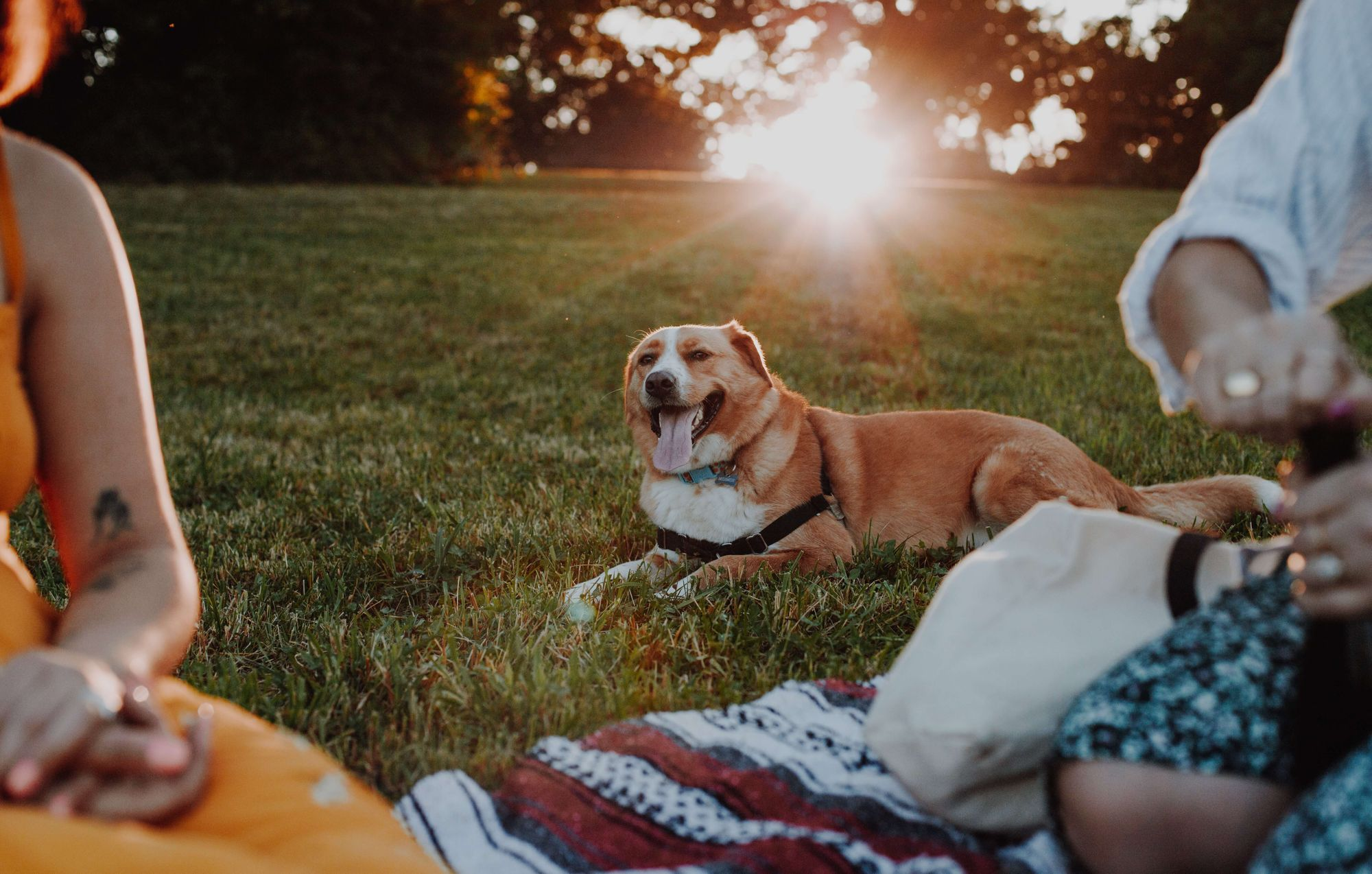 mixed-breed-dog-lounges-at-an-outdoor-picnic-in-the-late-summer-sun
