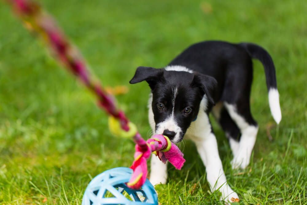 black-and-white-puppy-plays-with-toy-on-a-rope-during-puppy-kindergarten-class
