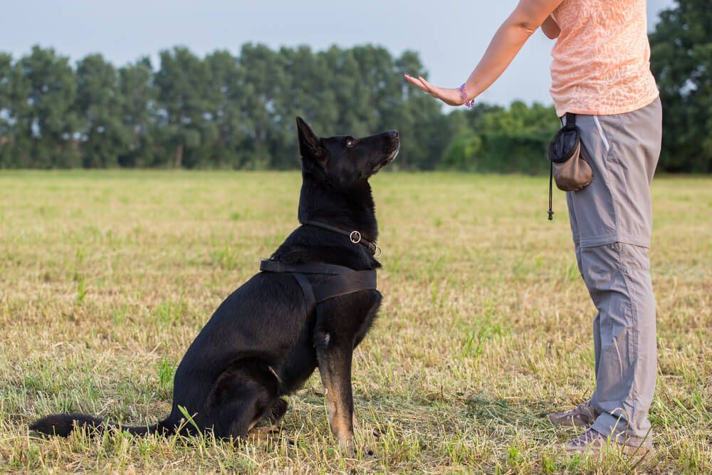 german-shepherd-sits-patiently-during-an-advanced-obedience-training-class