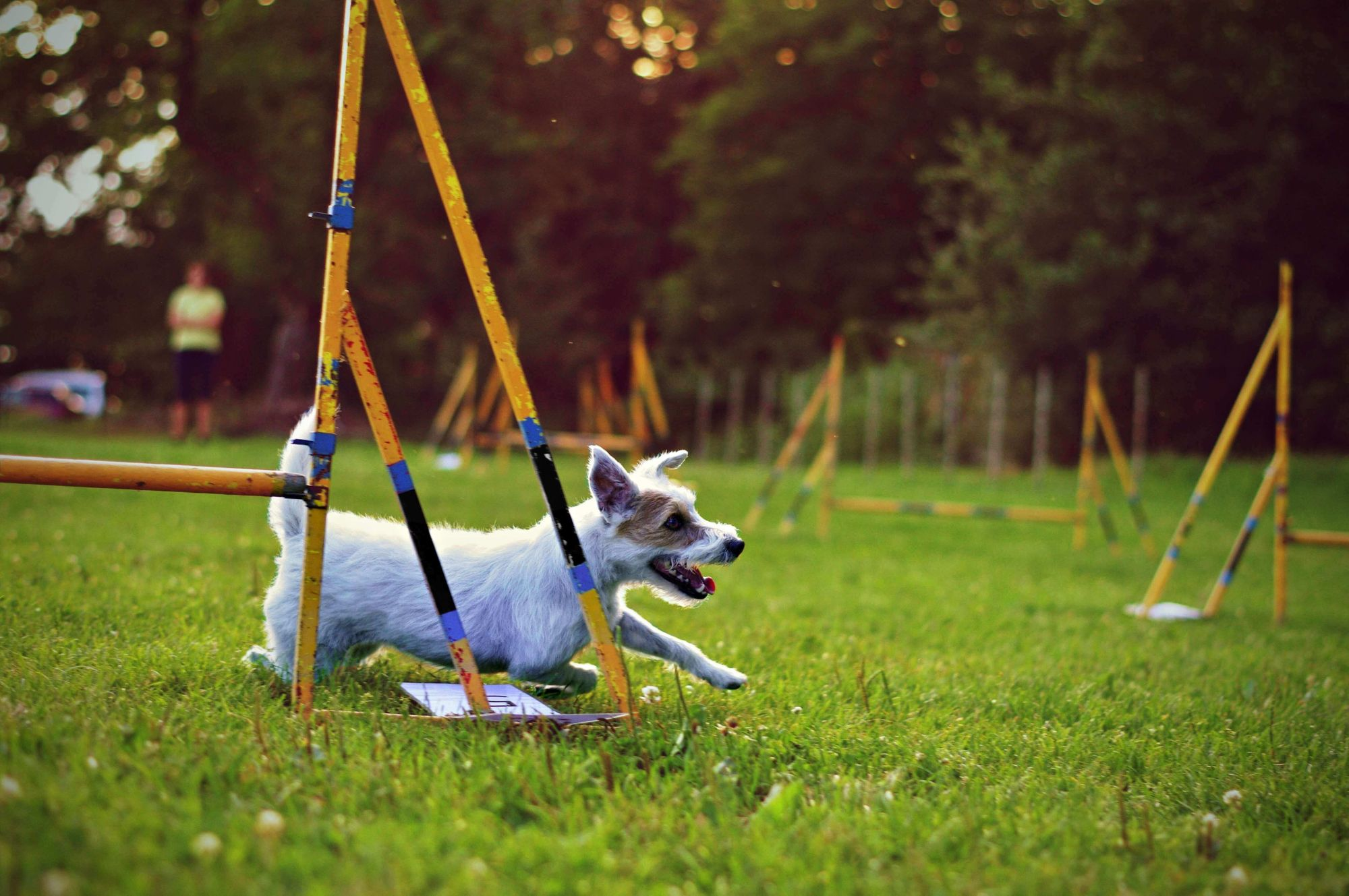 small-jack-russel-terrier-completes-course-during-agility-training--1-