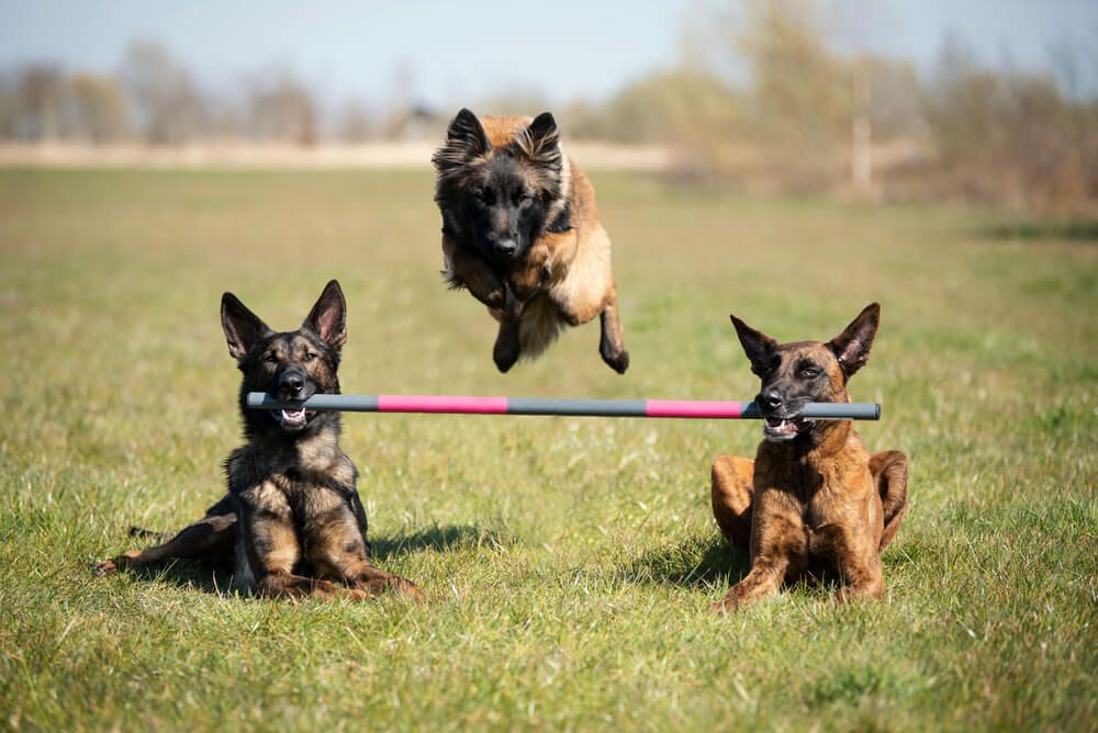 two-dutch-shepherds-hold-a-pole-in-mouths-while-a-third-dog-leaps-over-it