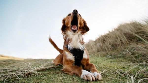 Why Your Pup Is Barking (and What You Can Do About It)
