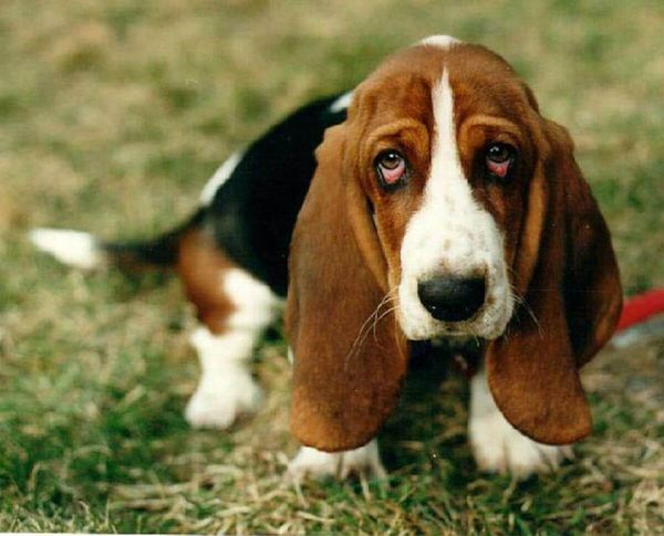 10 Things Only Basset Hound Parents Understand