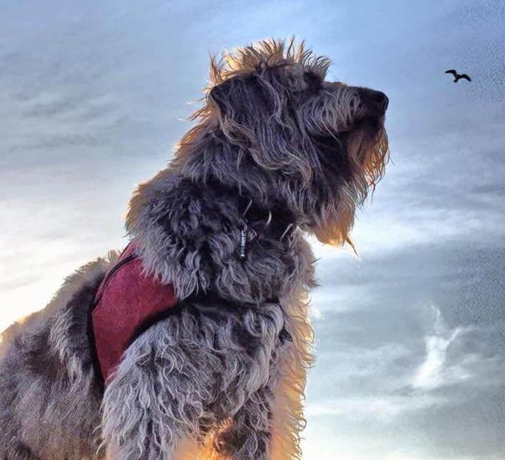 Meet Gander, the Service Dog Helping Veterans Heal Across the Country
