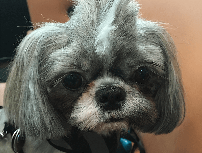 Ollie Foodie: Monster the Shih Tzu