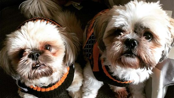 How Ollie Made My Shih Tzus Healthier, More Energetic Pups