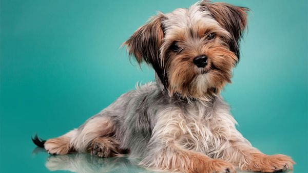 8 Things Only Yorkie Parents Understand