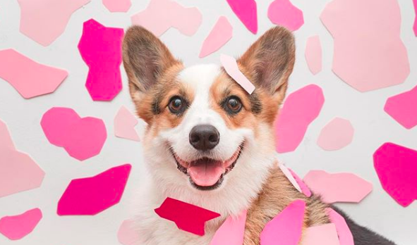 Pretty In Pink: Meet Paul The Anti Social Corgi