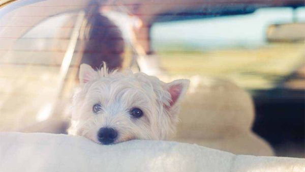 How to Prevent the Dreaded Pup Car Sickness