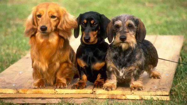Breed Deets: Dachshund - The Pros and Cons